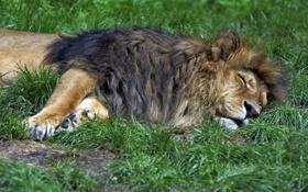 Обои кошка, трава, отдых, сон, лев