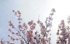 Обои небо, солнце, лучи, цветы, ветки, природа, вишня