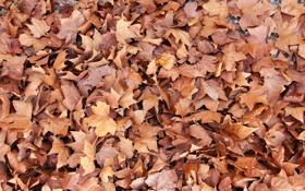 Обои листья, осень, клен