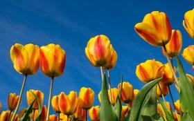 Картинка небо, листья, природа, лепестки, тюльпаны