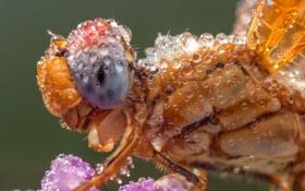 Обои капли, насекомое, стрекоза, макро, роса