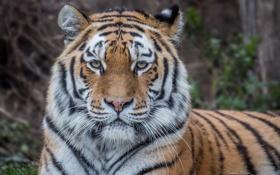 Обои взгляд, морда, тигр, дикая кошка, Амурский тигр