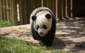 Картинка детёныш, мишка, панда, трава, медведь