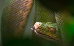 Обои макро, природа, змея