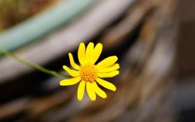 Обои цветок, цветы, желтый, фон, widescreen, обои, размытие