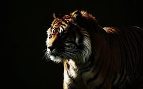 Обои морда, дикая кошка, тигр, темный фон, свет
