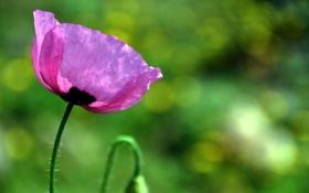 Картинка зелень, цветок, лето, природа, розовый, мак