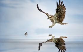 Картинка орёл, птица, вода, рыба
