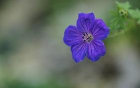 Обои зелень, цветок, макро, синий, один, фокус