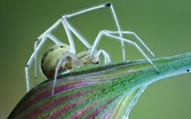 Картинка spider, white, legs, eyes, fang, mandibles