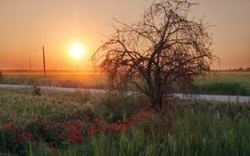 Картинка закат, дерево, маки