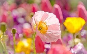 Обои поле, цветок, маки, лепестки, луг, ствол, цветение