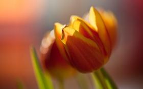 Картинка цветок, макро, оранжевый, яркий, цвет, тюльпан, весна