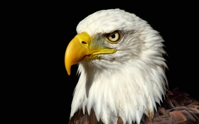 Картинка взгляд, птица, орел, Белоголовый Орлан