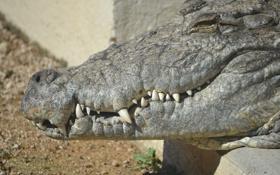 Картинка челюсти, хищник, крокодил