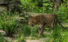 Обои дикая кошка, заросли, хищник, прогулка, леопард