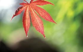 Обои красный, лист, роса, осенний, кленовый