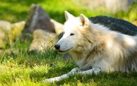 Обои профиль, морда, белый волк, лето, отдых, хищник, лежит