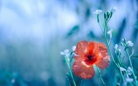 Обои природа, мак, цветы
