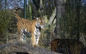 Картинка кошка, тигр, куст, бревно, амурский