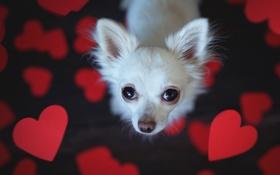 Картинка взгляд, друг, сердце, собака