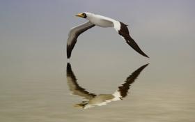 Картинка вода, полет, отражение, птица