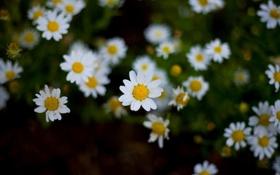 Картинка белый, цветы, желтый, фон, widescreen, обои, ромашки