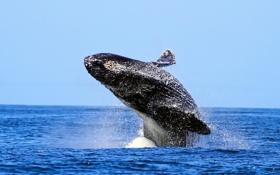 Обои море, небо, брызги, горбатый кит, humpback whale