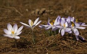 Обои иголки, природа, Цветы, весна, сухие, крокусы, первоцвет