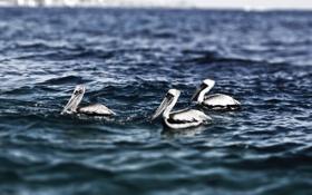 Обои Pelicans, Cabo San Lucas, mexico