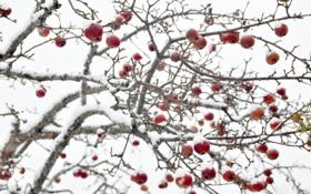 Обои зима, яблоки, яблоня
