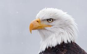 Картинка зима, снег, птица, портрет, Орёл