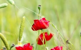 Обои колоски, маки, алые, цветки