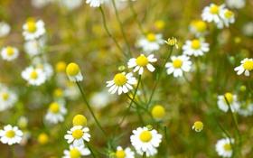 Обои поле, белый, цветы, желтый, фон, widescreen, обои