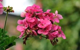 Обои розовый, цветок, Giovanni Zacche, герань, соцветие, photographer