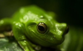 Обои лягушка, зеленый, макро