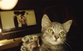 Картинка киса, серая кошка, кошка HD