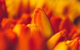 Картинка оранжевые, тюльпаны, бутоны, макро