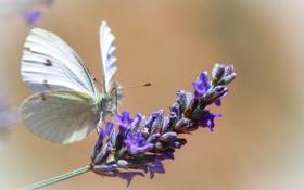 Обои бабочка, фон, цветок