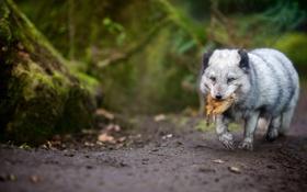 Обои природа, охота, Arctic fox
