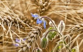 Картинка цветок, колосья, поле, макро