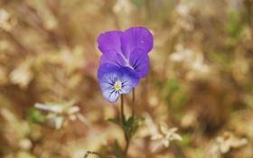 Обои природа, цветок, анютины глазки, земля, макро