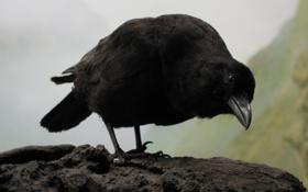 Картинка взгляд, птица, ворон