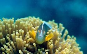 Обои рыбка, подводный мир, коралы, Amphiprion Akallopisos