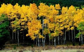 Обои forest, trees, yellow