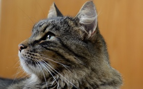 Картинка кот, серый, фон, профиль