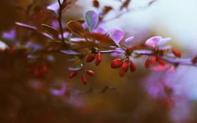 Картинка листья, ягоды, ветка, барбарис