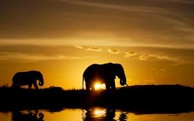 Картинка животные, закат, природа, берег, тень, вечер, слоны