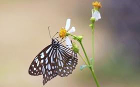 Обои цветок, фон, космея, бабочка