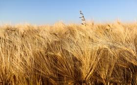 Обои пшеница, поле, природа, фото, обои, картинки, урожай
